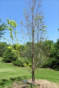 Image for Dawn Redwood, Iowa Arboretum – rural Madrid, IA