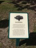 Image for Ficus macrophylla - Anaheim, CA