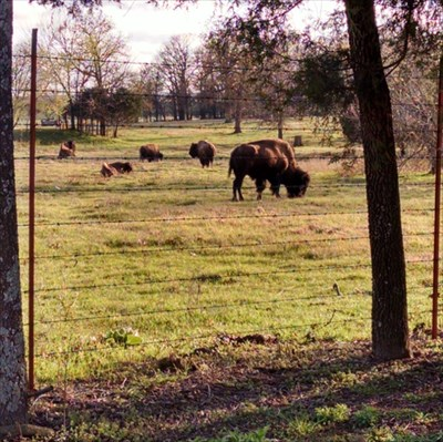Bison at Greenwood Church and former school, by MountainWoods