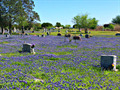 Image for Bluebonnets (Texas State Flower) - Strawn, TX