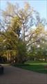 Image for Ginkgo biloba du jardin botanique - Tours, Centre