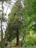 Image for Metasequoia Glyptostroboides — Frankfurt am Main, Germany