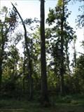 Image for Persimmon - Big Oak Tree State Park - Missouri