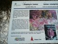 Image for Staghorn Sumac - Ottawa, ON