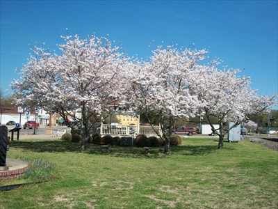 looking east with the cherry trees in full blossom