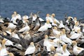 Image for Point Danger Gannet Colony - Portland Victoria