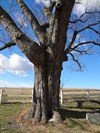 A towering tree is slowly swallowing one of the headstones and erasing the inscription.