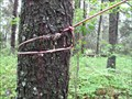 Image for Cable Consuming Conifer - Whitecourt, Alberta