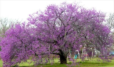 Regional Champion Texas Redbud Exceptional Trees On Waymarking Com