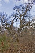 Image for 300 years old oak tree, Nosztori