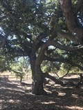 Image for Quercus Agrifolia - Lake Forest, CA