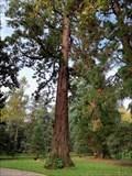 Image for Sequoia géant - Arboretum Gaston Allard (Angers, Pays de la Loire, France)