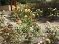 Image for Marguerite Parkes Rose Garden, Maitland Visitors Centre