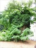 Image for OLDEST -- Tree in Paris - Paris, France
