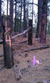 View of survey marker and nearby bearing tree and fence line with pink spray paint marking its location.
