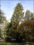 Image for Metasequoia Glyptostroboides, Botanicka zahrada, Praha, CZ