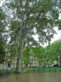 Image for Theodore Roosevelt Memorial Tree - Brooklyn, New York