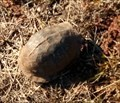 Image for Box Turtle Crossing - southeast of Stillwater, Oklahoma
