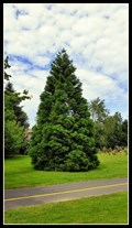 Image for Sequoiadendron giganteum @ Mill Lake Park South — Abbotsford, BC