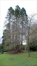 Image for Redwood Clusters in Fell Foot Park, Cumbria