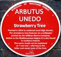 Image for Arbutus Unedo - Forest Road, London, UK