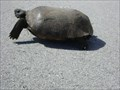 Image for Gopher Tortoise @ the Kimball center