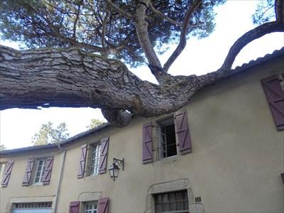 Une photo amusante .... On jurerait que ce pin est en train de manger la maison .... Je devais vous en faire profiter