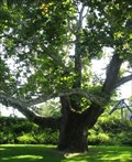 Image for The Pinchot Sycamore - Simsbury Twn, CT