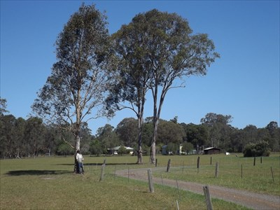 Location view of the Omnivorous Tree, at Taree South. 1532, Monday, 9 January, 2017