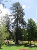 Image for Sequoia Sempervirens - Toowoomba, Qld, Australia
