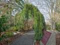 """Image for Sequoiadendron giganteum """"Pendulum"""" - Victoria, British Columbia, Canada"""