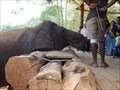 Image for Feed the elephants - Pinnawala Elephant Orphanage - Pinnawala, Sri Lanka