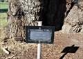 Image for Aboriginal Maternity Tree - Talbot, Vic, Australia