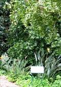 Image for Nelson Mandela Pepper-bark tree - Cape Town, South Africa