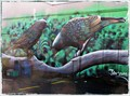 Image for Cheeky Kea Parrots, Taupo. North Is. New Zealand.