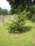 Image for Millennium Yew - Frampton, England