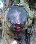 Image for The Bleeding Yew - Nevern, Pembrokeshire, Wales.