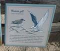 Image for Western Gulls  -  Pebble Beach, CA