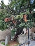 Image for Caesar's Tree - Lo-Reninge, Belgium
