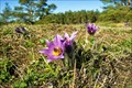 Image for Pasque flower - Kobylinec