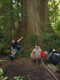 Image for Giant Sitka Spruce Tree, Vancouver Island, British Columbia, Canada