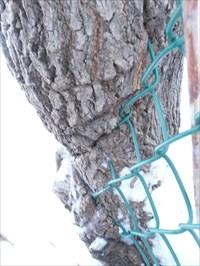 Gros plan côté droite où la clôture est avalé par arbre.   right hand plane where the fence is swallowed by tree.
