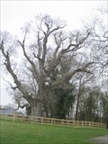 Image for 700 Year Old Walnut Tree