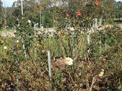 A view of #2 Memorial Rose Garden bed, Nowa Nowa 13 May, 2016
