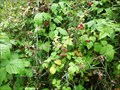 Image for Wild Raspberries, Trojmezi, Czech Republic