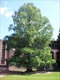 Image for Dawn Redwood (Metasequoia Glyptostroboides) - Northampton, MA