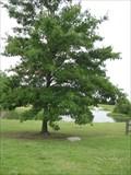 Image for Mellennium Tree, Ponca City, Oklahoma