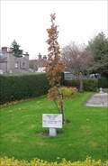 Image for Oak Tree - Our Lady of the Rosary church, Harold's Cross, Dublin