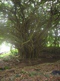 Image for Rainbow Tree - Hilo, HI
