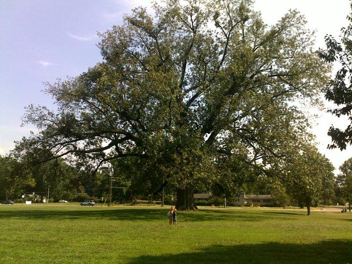 Largest cherry bark oak in indiana image
